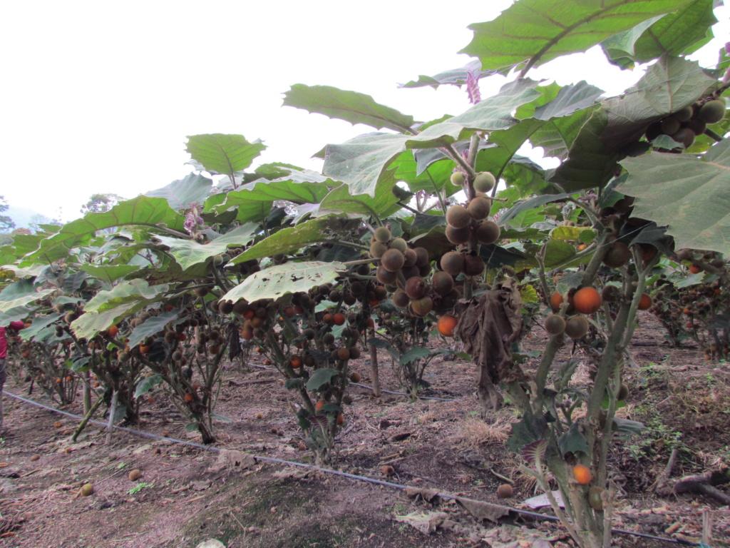 Solanum quitoense - lulo Img_0710