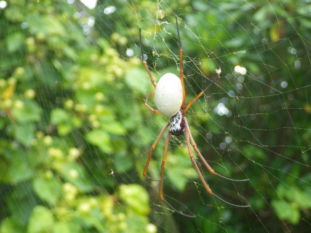 les 8 pattes - araignées et compagnie - Page 23 Imgp4310
