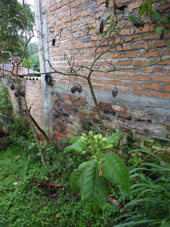 Solanum betaceum (= Cyphomandra betacea) - tomate en arbre Imgp5810