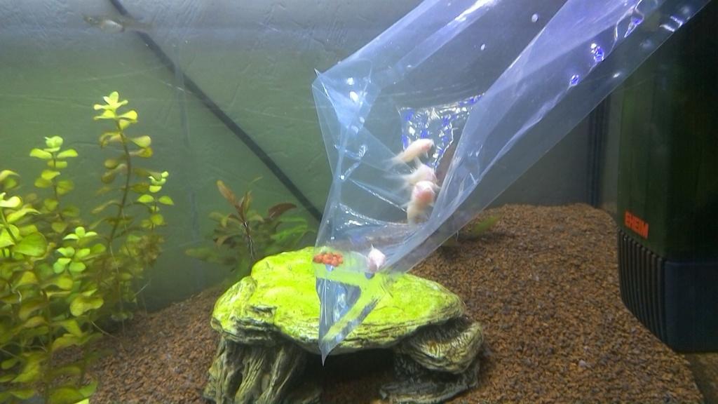 nouveaux poissons dans mon 100L Win_2011