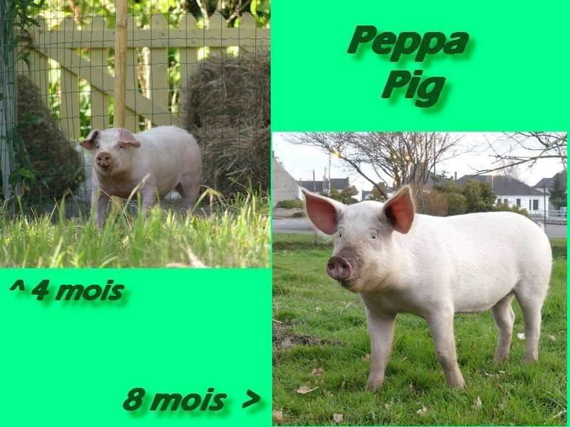 PEPPA - Jeune truie  Receiv15