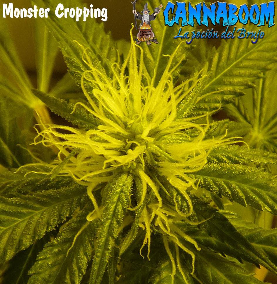 I+D  --->>  ☯QUIERES DOBLAR LA PRODUCCION DE TUS COSECHAS.. METODO MONSTER CROPPING  SEGUIMIENTO☯(CannaBoom) - Página 4 Cogoll16