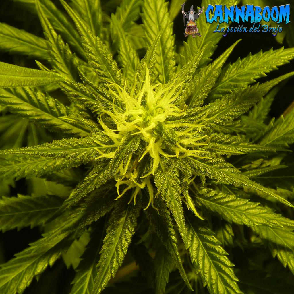 I+D  --->>  ☯QUIERES DOBLAR LA PRODUCCION DE TUS COSECHAS.. METODO MONSTER CROPPING  SEGUIMIENTO☯(CannaBoom) - Página 5 Cogoll52