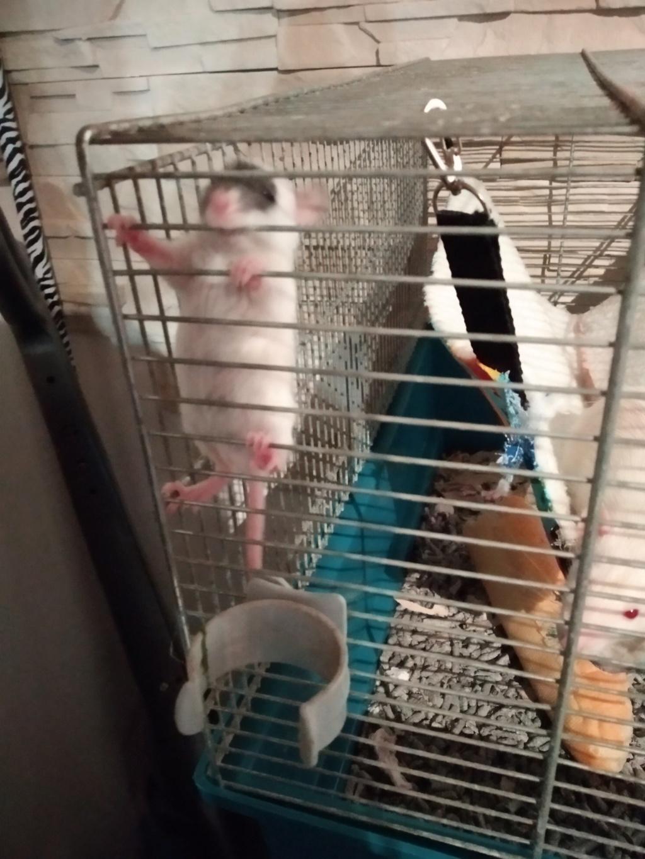 Couleur de mon rat  Img_2101