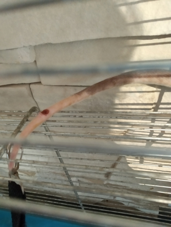 Morsure à la queue infectée 樂 Img_2153