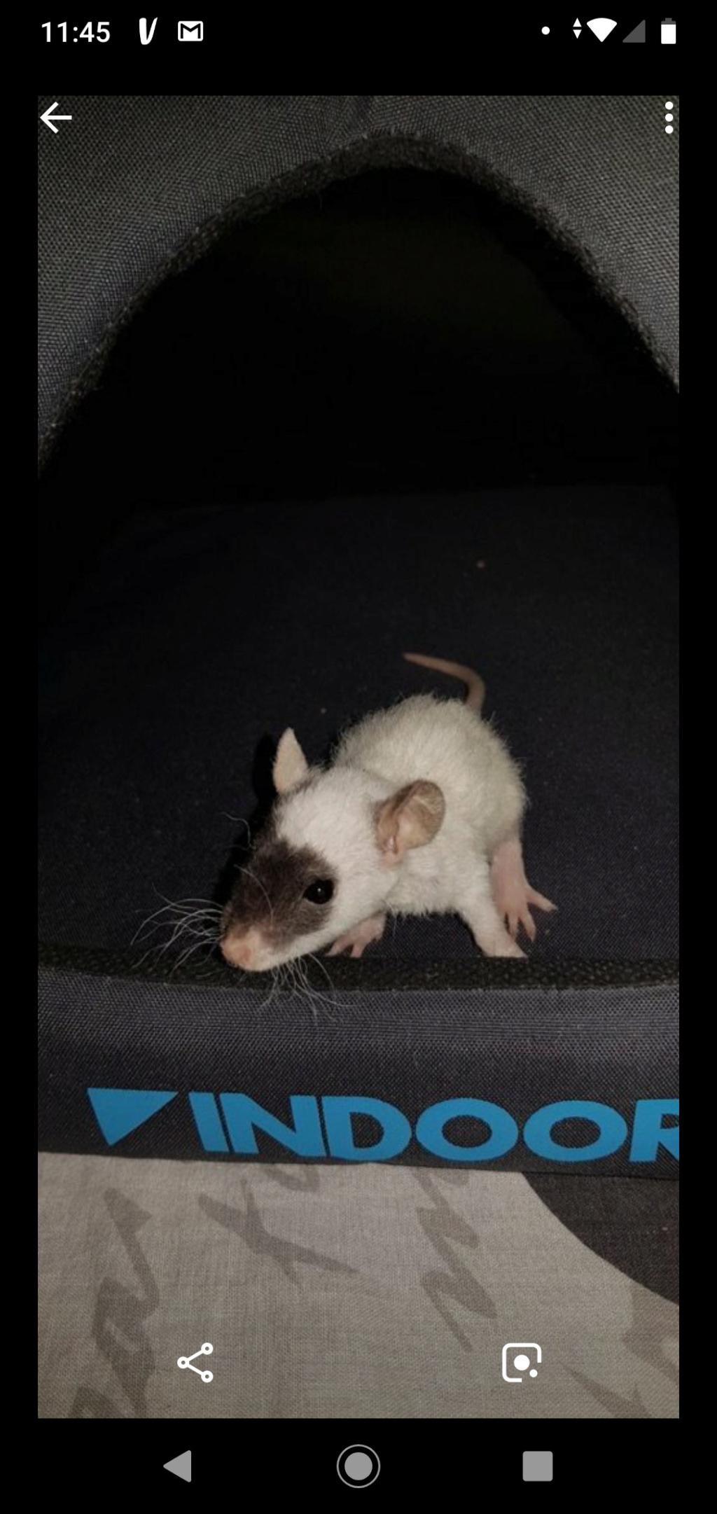 Couleur de mon rat  Mc_65910