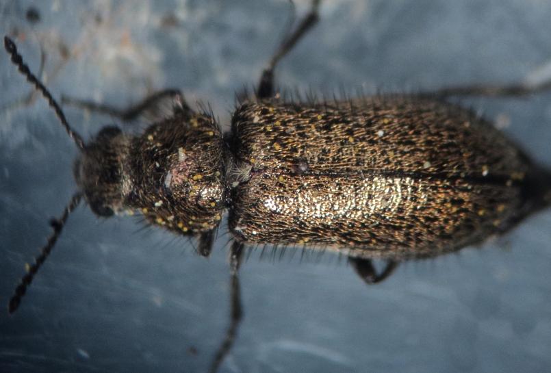 identificacion de coleopteros 92410