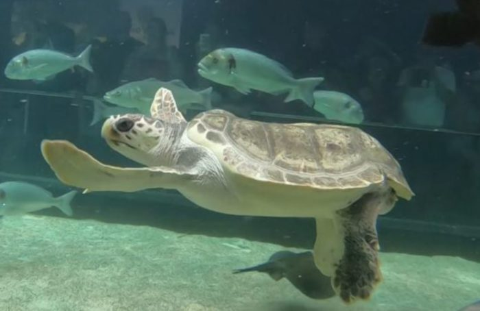 Loro Parque rescues and recuperates loggerhead turtle with spinal injuries caused by boat propeller collision Federi10