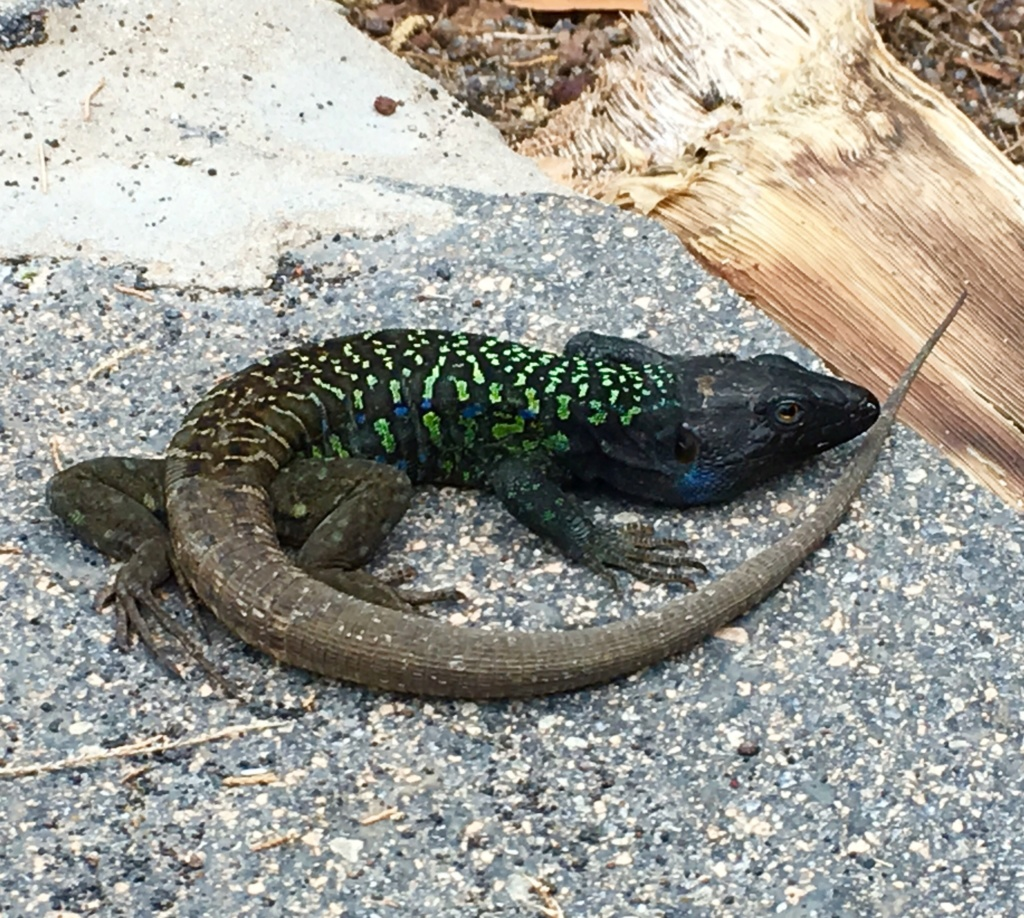 Live lizards found in parcel post from Tenerife Origin10