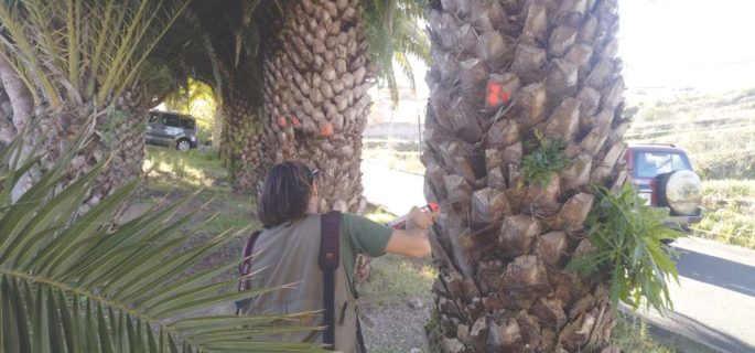 San Juan checks the safety of its palm trees Page-811