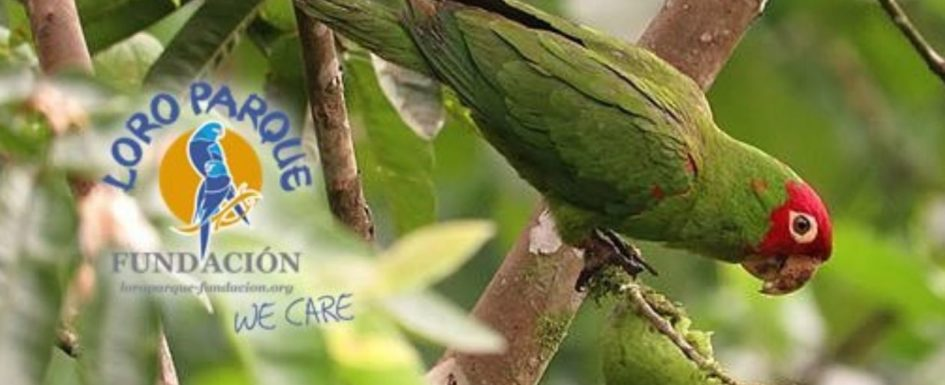 Loro Parque helps in release back into wild of illegally-captured red-masked parakeets Parake10