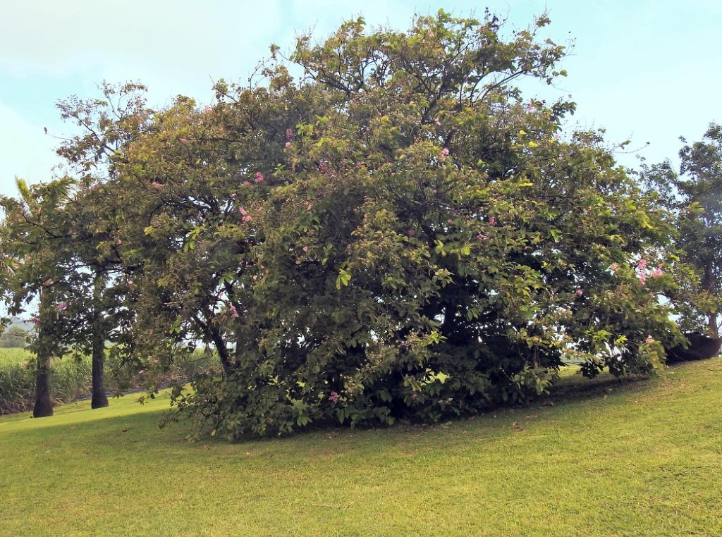 Gestrame ou  Goyavier Royal (un grand arbre ... devinette trouvée) Gestra10