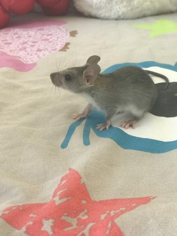 Rat sauvage  9a2b4d10
