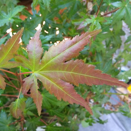 Japanese Maple - but which variety 111