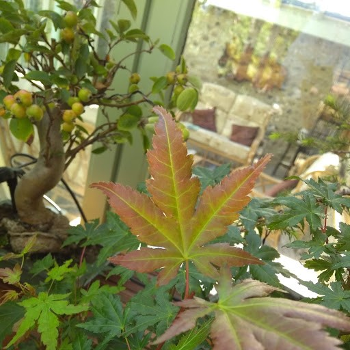 Japanese Maple - but which variety 211