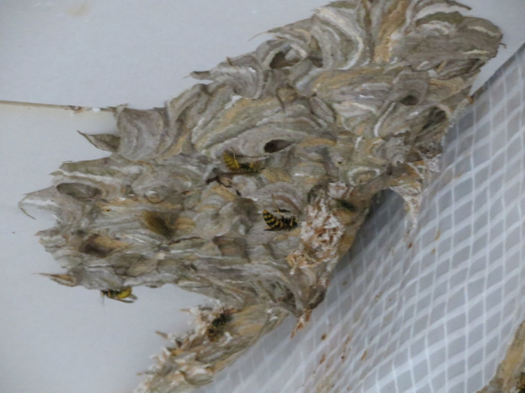 placo mangé par les guêpes Img_4211