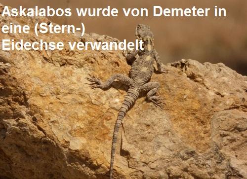 Askalabos (Mythologie): Wurde von Demeter in eine (Stern-) Eidechse verwandelt Askala10