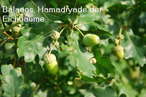 Balanos (Mythologie): Hamadryade der Eichbäume Balano10