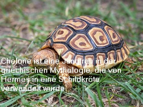 Chelone (Mythologie): Jungfrau, die von Hermes in eine Schildkröte verwandelt wurde Chelon10