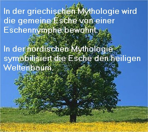 Meliaden (Mythologie): Eine Meliade ist eine Nymphe, die in einer Esche lebt und diese beschützt  Gemein10
