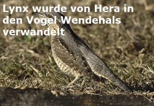 iynx (Jynx, Mythologie): Wurde von Hera in den Wendehals verwandelt Lynx10