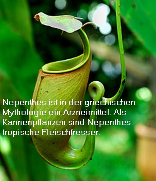 Nepenthes (Mythologie): Arzneimittel / Pharmakon Nepent10