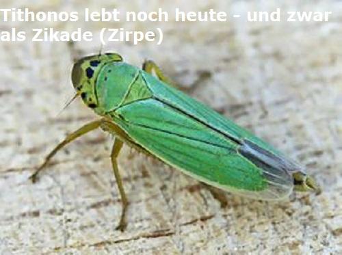 Tithonos (Mythologie): Geliebter der Eos, verwandelte sich in eine Zikade (Zirpe) Tithon10