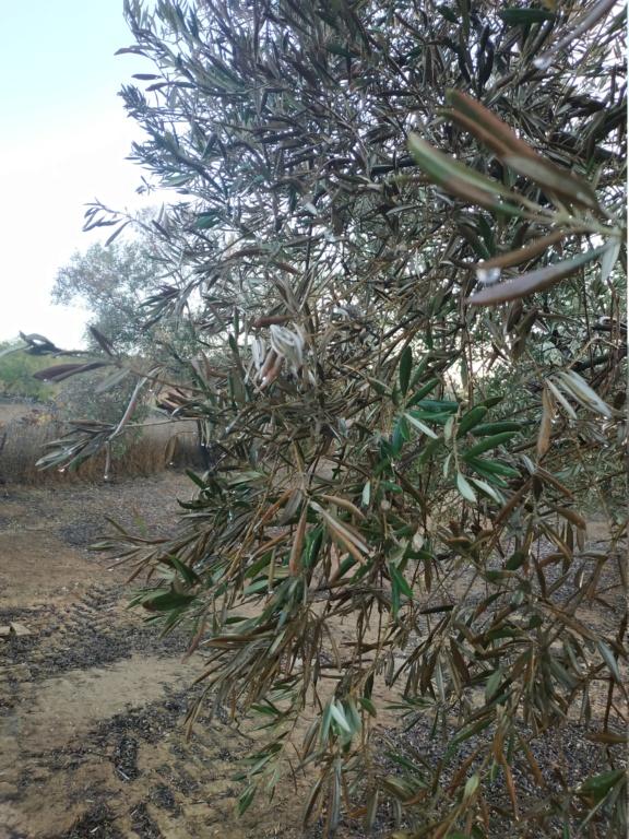 Olivos con síntomas de hojas quemadas (Huelva) Img_2016