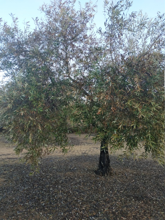 Olivos con síntomas de hojas quemadas (Huelva) Img_2017