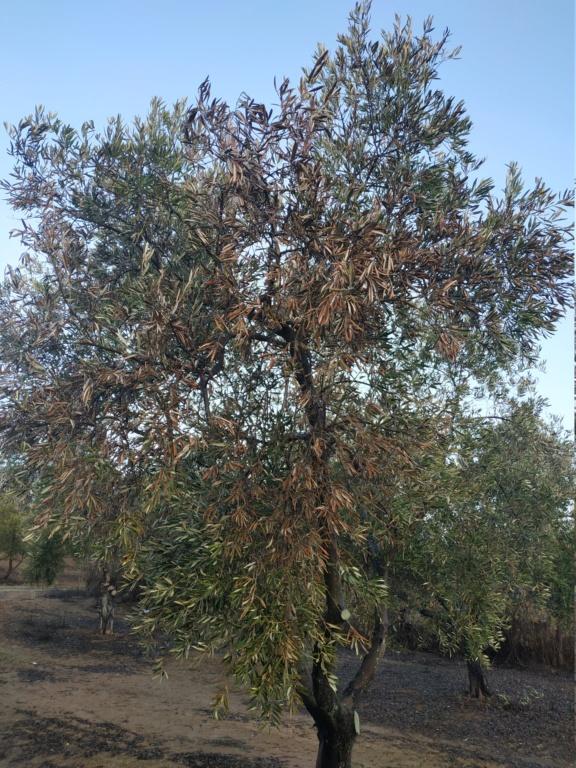 Olivos con síntomas de hojas quemadas (Huelva) Img_2018