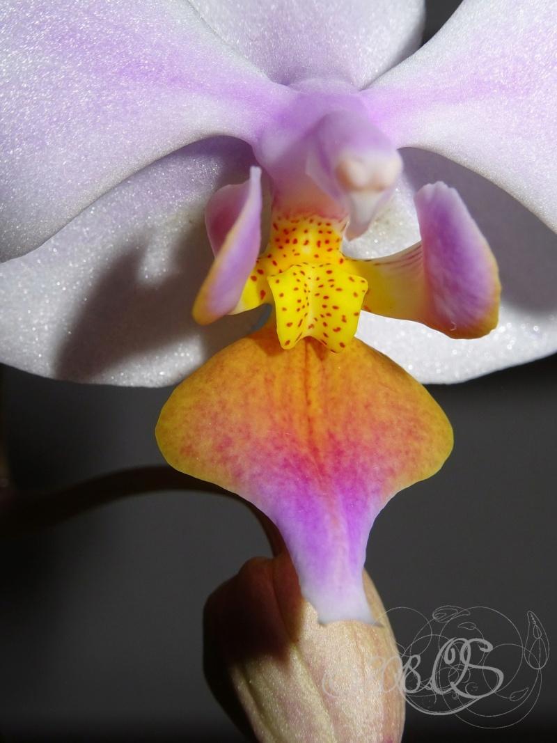 Phalaenopsis amabilis x equestris aurea (Artemis) Phal_a15