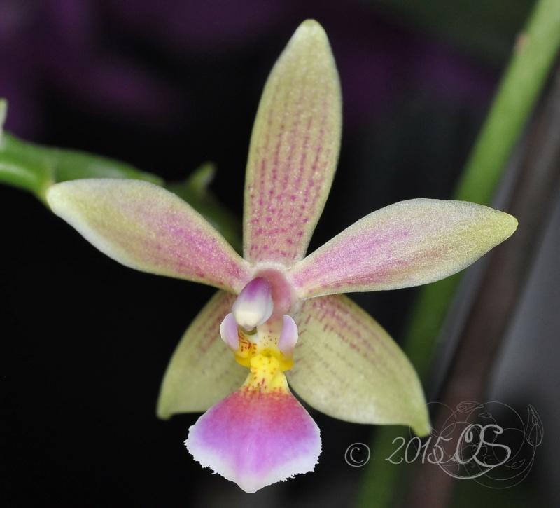 Phalaenopsis cornu-cervi x equestris 'rosea' (Cornustris) Phal_c10
