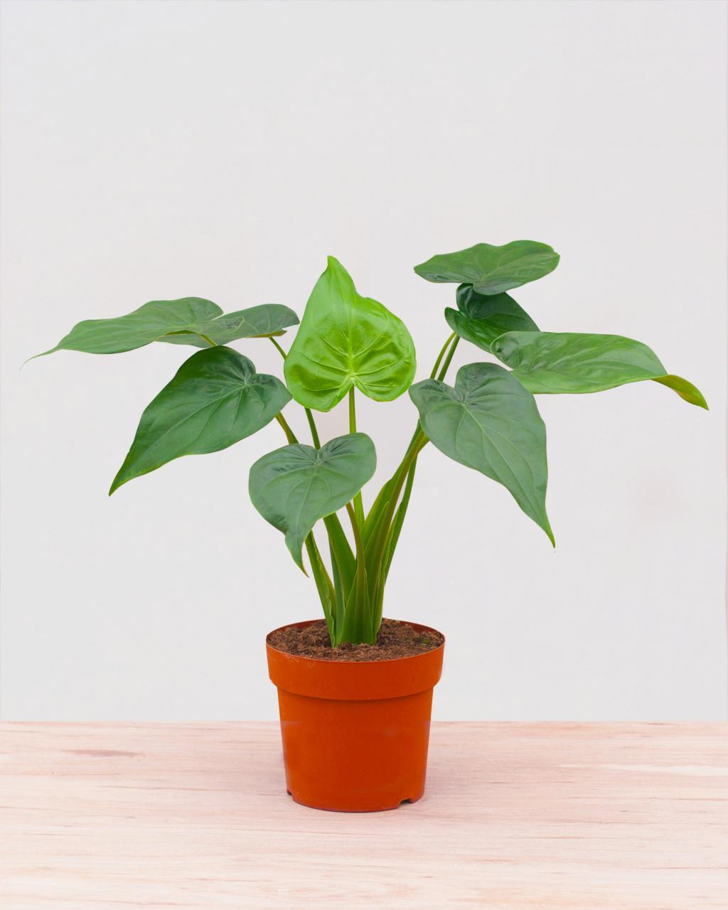 Gecko à Crêtes : Plante et substrat Pl_xl_10