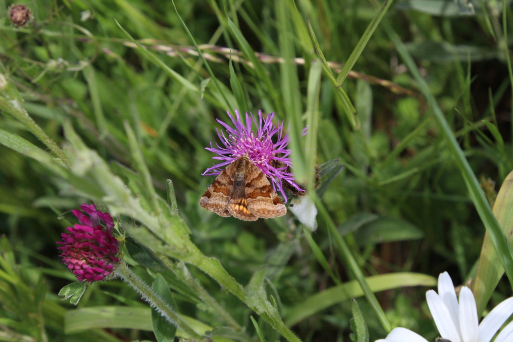 Identification papillion [Euclidia glyphica] Img_3510