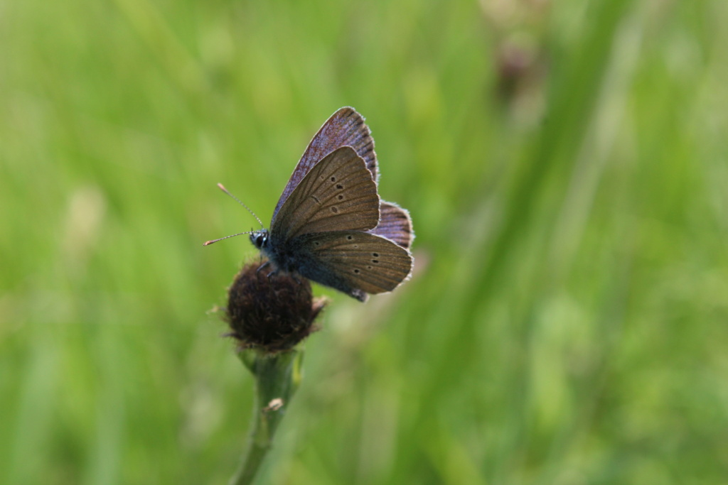 Identification papillon [cyaniris semiargus] Img_3515