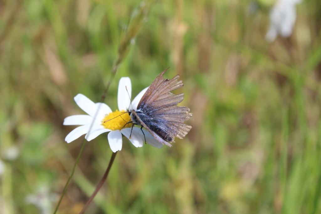 Identification papillon [cyaniris semiargus] Img_3517
