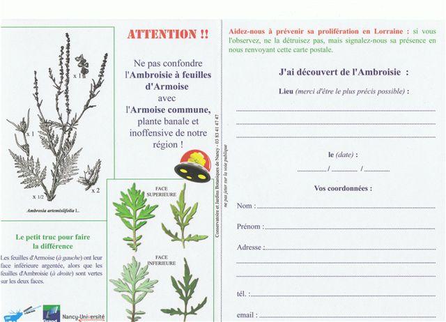 Plante envahissante - Ambroisie, Ambrosia artemisiifolia Cci13011