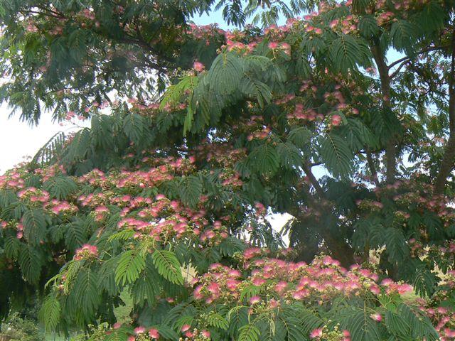 il  ressemble  à l'arbre de ma Lorette du Venezuela Sam_2_14