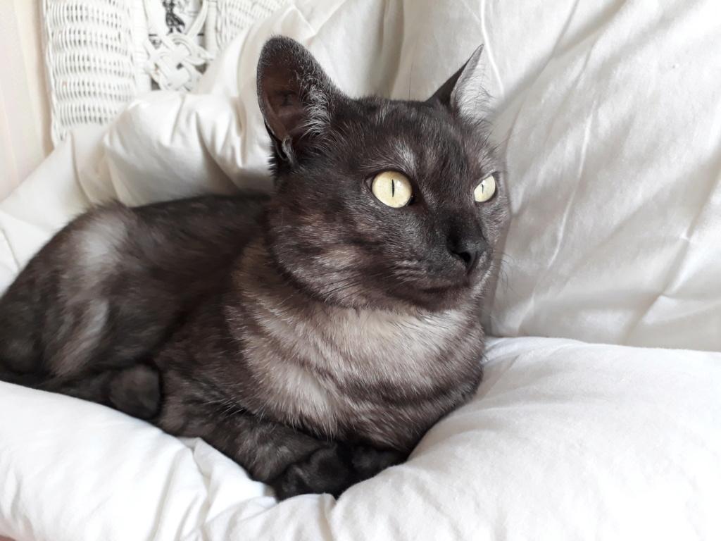 LIXOU, jeune chat européen, robe smoke, né en janvier 2015 20180610