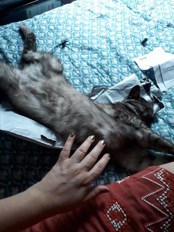 LIXOU, jeune chat européen, robe smoke, né en janvier 2015 20180612