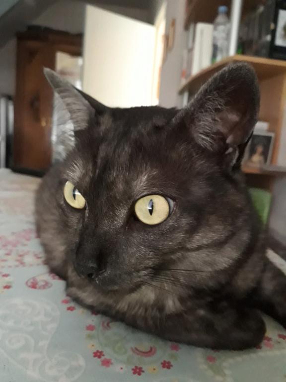 LIXOU, jeune chat européen, robe smoke, né en janvier 2015 20180613