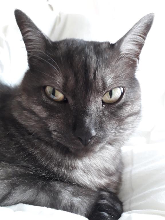LIXOU, jeune chat européen, robe smoke, né en janvier 2015 20180614