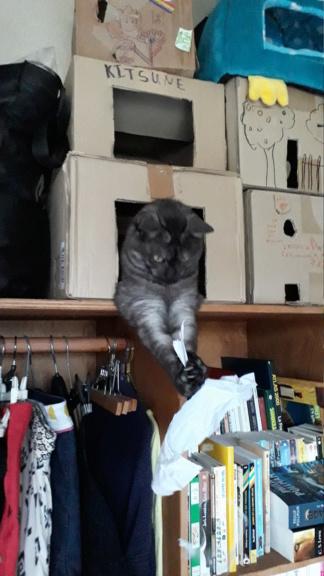 LIXOU, jeune chat européen, robe smoke, né en janvier 2015 20180710