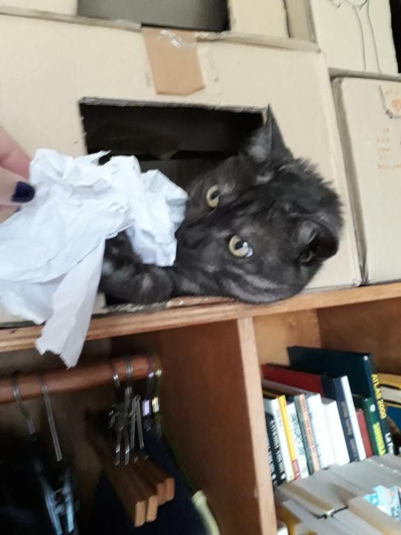 LIXOU, jeune chat européen, robe smoke, né en janvier 2015 20180711