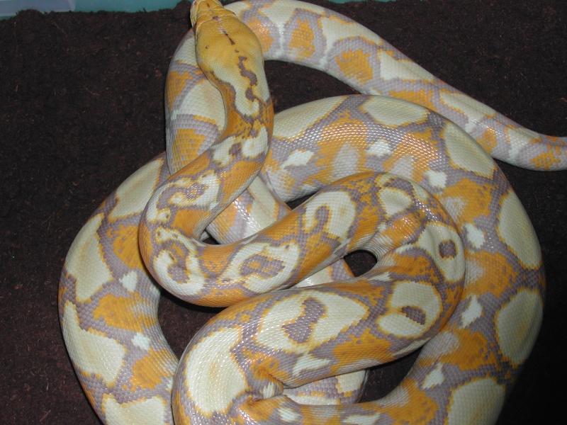 Psychédélique Rétic   (albinos/purple) 00610