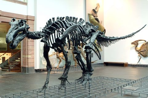 L'iguanodon Iguano10