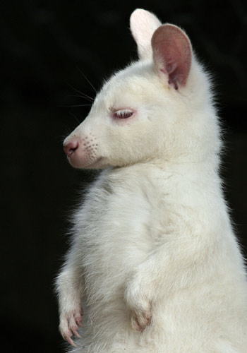 Les animaux albinos, solitaires et fragiles Wallab10