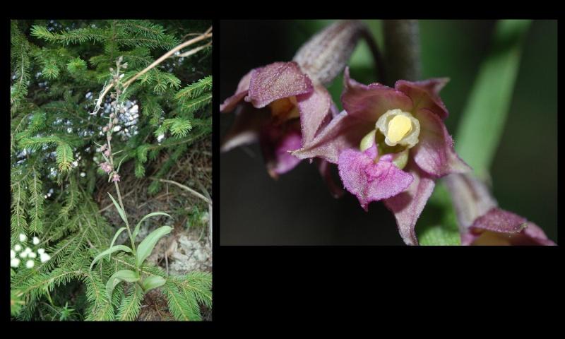 Epipactis atrorubens ( Epipactis pourpre noirâtre ) Epipac10
