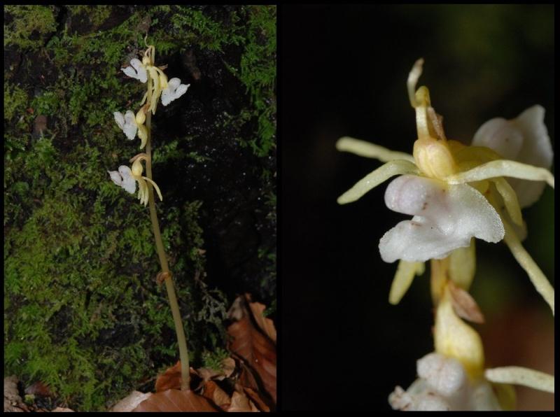 Epipogium aphyllum  ( Epipogon sans feuille ) Epipog10