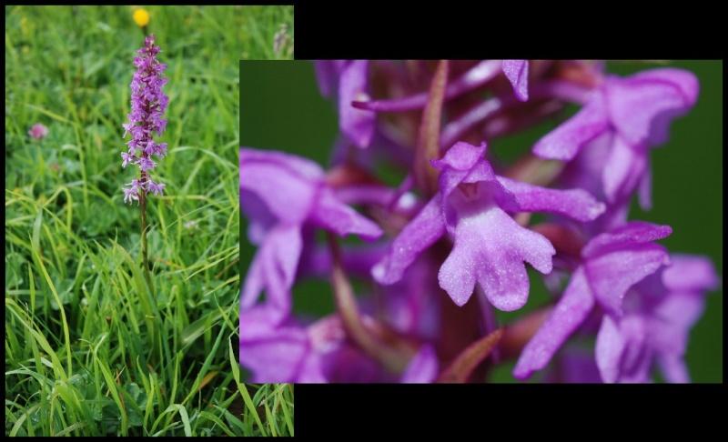 Gymnadenia conopsea (Orchis moucheron) Gymnad10